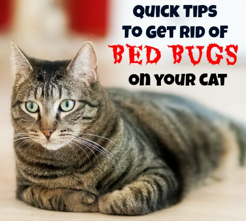 Can Cats Bring In Bed Bugs